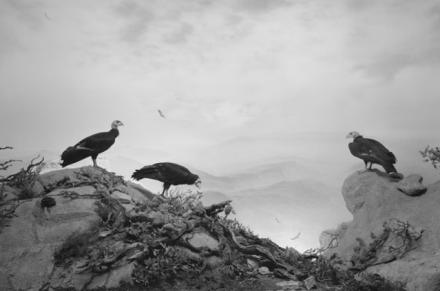 Hiroshi Sugimoto, California Condor (1994), via Pace London